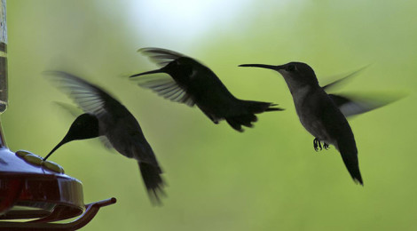 """Hummingbird Wings Landing #2"" Tim Hamilton (Flickr)"